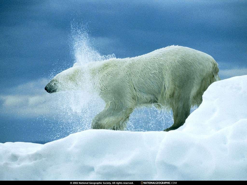 Imagenes De Osos Polares: . Fotos Osos Polares